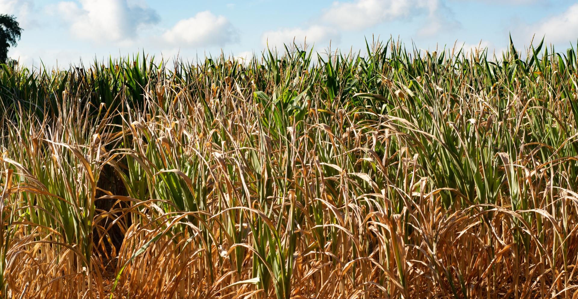 Veld met droge mais als gevolg van aanhoudende droogte